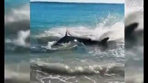 Great White Shark Chokes On Sea Lion In Australia | Great White Shark Chokes to Death on Sea Lion