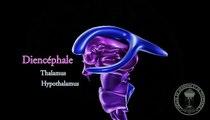 Anatomie du cerveau : Diencéphale , thalamus et hypothalamus