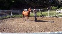 Équitation éthologique en Europe : Comment désensibiliser un cheval à la longe ?