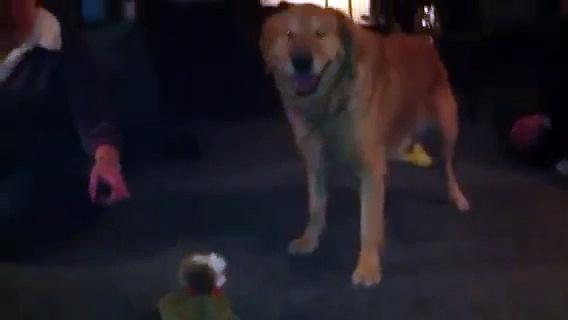 Molly vs toy dog