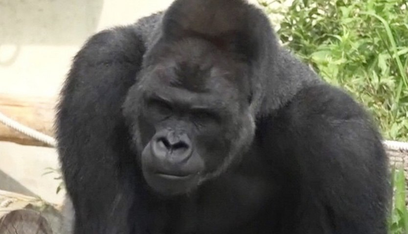 Japanese Girls Think This Gorilla Is HOT | What's Trending Now