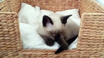 Süße Baby Siamkatze schläft ein (Siam Thai Katze) - Amazing cute baby Siamese cat falls asleep