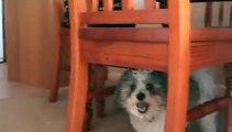 Shih-tzu-Maltese Dogs Playing.
