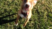 Brilla - Cute Blind pit bull puppy plays fetch! Blind Dog Plays Fetch!