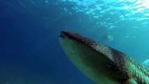 Giant Whale Sharks!  Indian Ocean Close Encounters.  Video by Craig Capehart