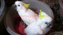 Triton Cockatoos Chicks of Syed Ovais Bilgrami.