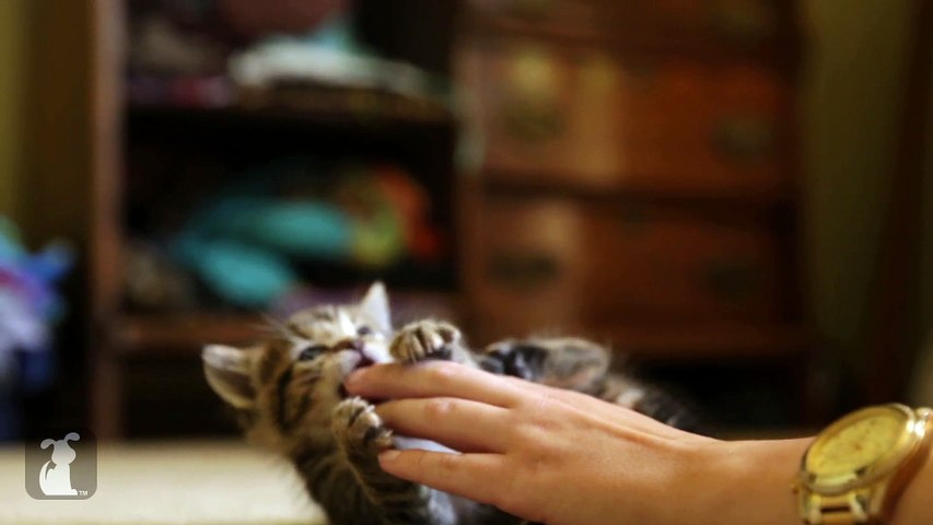 Playful Kitten's New Favorite Toy is Human Hands