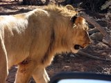 Lion with Canine Distemper ''Truth about lions''