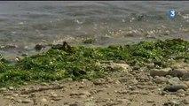 Charente-Maritime : les algues vertes sont de retour