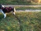 Siberian Husky Alma Bike-Dog Training Bikejoring cz1