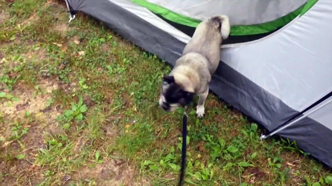 Pug Vs. Tent