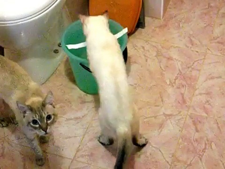 Ведро воды, белая полоска и тайская кошка! - Funny Cats -