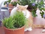 Cat eating grass - il mio gatto che mangia l'erba gatta