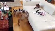 Daisy Fawn French Bulldog Puppy  Visits Daddy Enzo Brindle French Bulldog