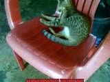 Funny My Kitten Playing His Tail, So Funny Tabby Cat!