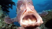Amazing big mouth Frogfish!  Giant Frogfish opens wide and yawns!