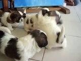 Shih Tzu puppies playing