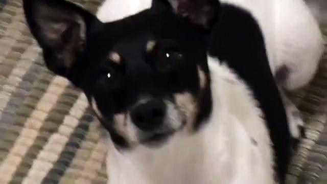 Impatient rat terrier