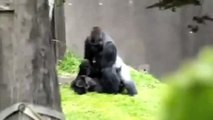 Gorilla Beating The Pussy Up Up Up Up Up
