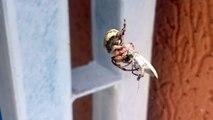 Araignée qui entoure une proie vivante dans sa toile