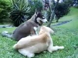 Siberian Husky Puppy & Golden Retriever Puppy Playing Together, Lovely puppies!!!