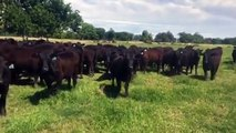 Angus heifers synchronized and exp LBW Maine Angus Bulls