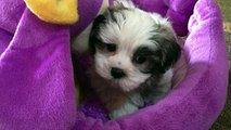 Mal Shi Maltese/Shih Tzu puppies for sale Ocala Florida