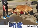Water Rescue Training Leonberger in Japan