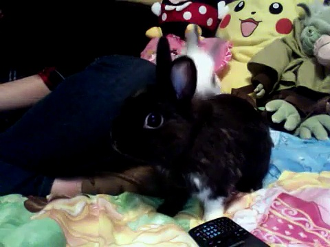 Dwarf Rabbits Playing