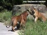 Tigres lutando - Tigers fighting - Tigres peleando