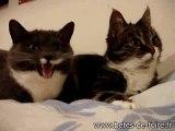 Les deux chats qui parlent - www.betes-de-foire.fr