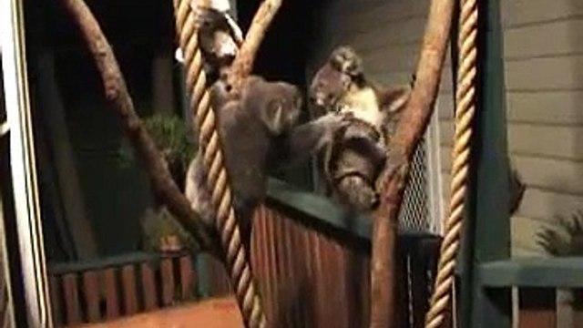 two koala  orphan joeys  eli and mg