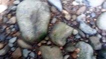 Fourmis rouges - Atta Ants - Costa Rica