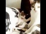 Un chaton imite sa maman qui se nettoie