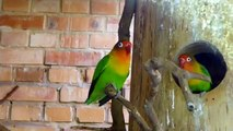 Zoo Opole - Nierozłączka Fischera (Fischer's Lovebird) Papuga - Parrot