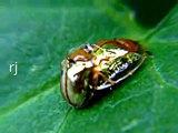 Beetle Sex -Lady American Golden Tortoise Beetle shaking off Male Beetle