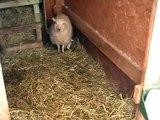 Naissance Bébé Mouton Ouessant