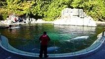 Beluga Whale Show at the Vancouver Aquarium