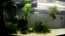 Ghost Shrimp Feeding to Stingray and Eels in 55 Gallon Aquarium