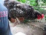 Como Cortar el Plumaje de Gallos/Gallinas Evitar Piojos y Desparacitar