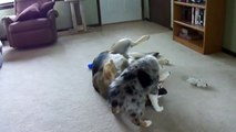 Australian Shepherd Blue Merle Puppy Playing With German Shepherd