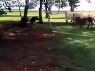cow goes against ram and get surprise - live leak, pulse tv uncut