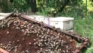 BEEKEEPING: Queenless Hive.