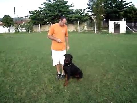 Adestramento Rottweiler