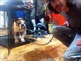 3 year old Bulldog with trust issues, Peter Caine Brooklyn Dog training, NYC dog training
