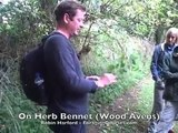 Robin Harford on Herb Bennet (Wood Avens)