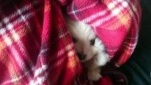 ポメラニアンの花たん ~出会い~ (Pomeranian puppy)