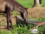 Ma jument Quarter Horse au grand galop!