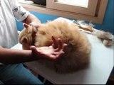Grooming - Preparo de gatos persas para Exposição