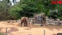 Canicule : les éléphants prennent leur douche